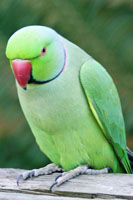 Indian Ringnecks for Sale @ Birdsforsaleonline.com.au